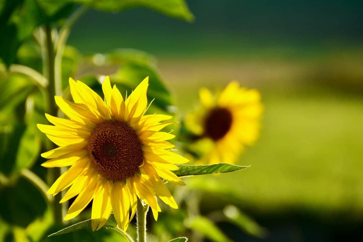 Kommunikationstraining am Beispiel von Sonnenblumen